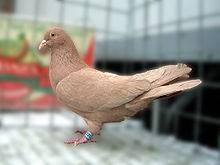Породы голубей: названия, описания и фото