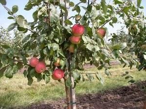 Особенности ухода за сортом яблони богатырь