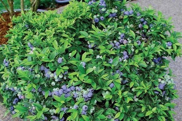 Голубика блюкроп — описание сорта, преимущества выращивания. 115 фото посадки и ухода голубики в саду