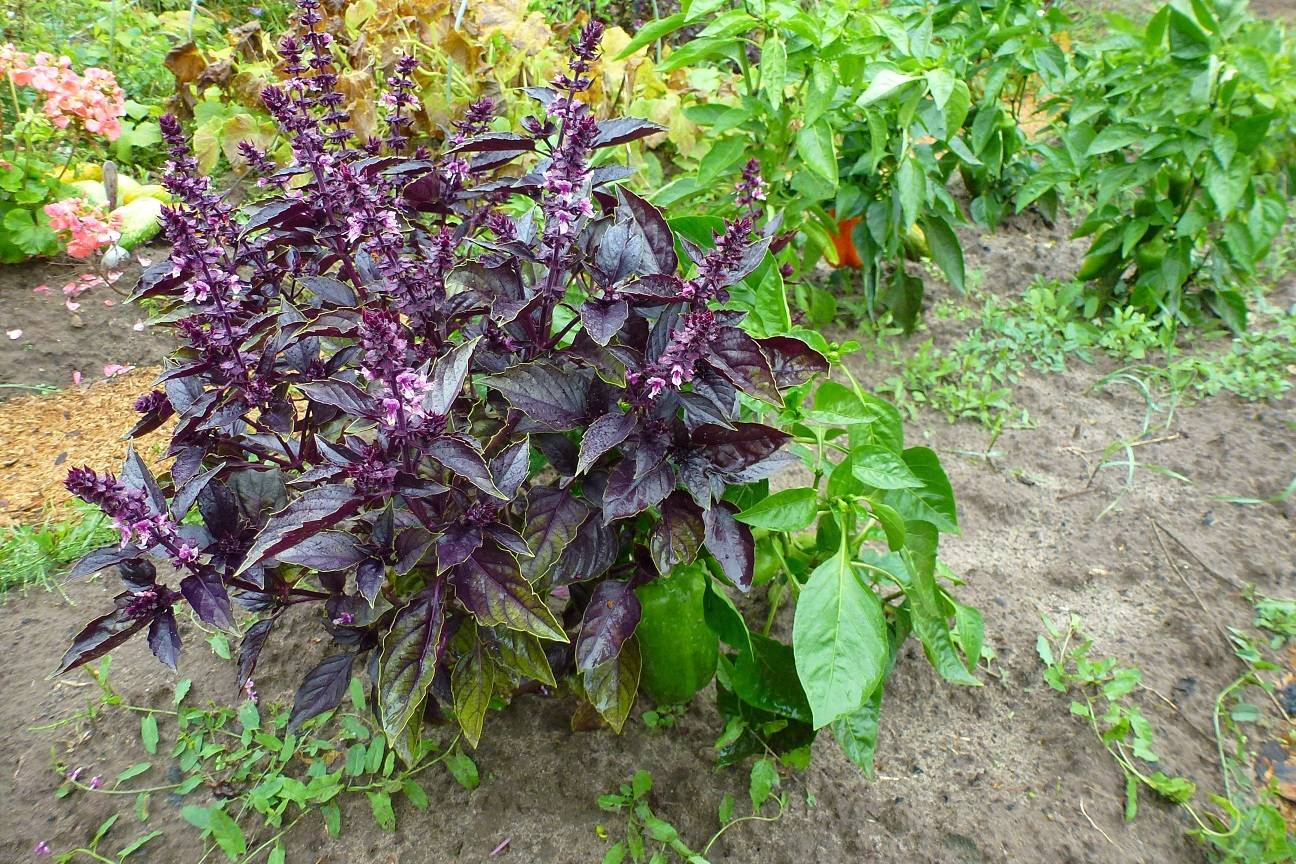 Выращивание базилика из семян: сроки и правила посадки на рассаду
