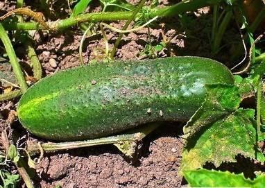 Огурец «дальневосточный 27»: описание характеристик сорта. посадка, уход, урожайность и выращивание из семян (фото)