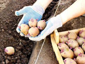 Как подготовить картофель к посадке, чем обработать клубни