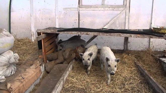 Опорос свиноматок: подготовка, сроки, возможные проблемы и их решение