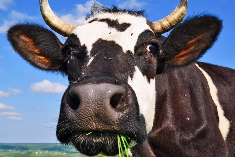 От чего может быть мастит у коровы?