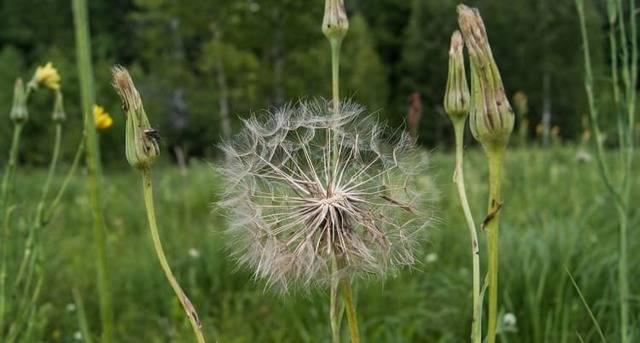 Козлобородник : лекарственное растение, применение, отзывы, полезные свойства, противопоказания