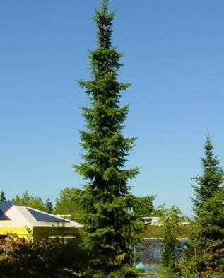 Характеристика видов и сортов лиственницы