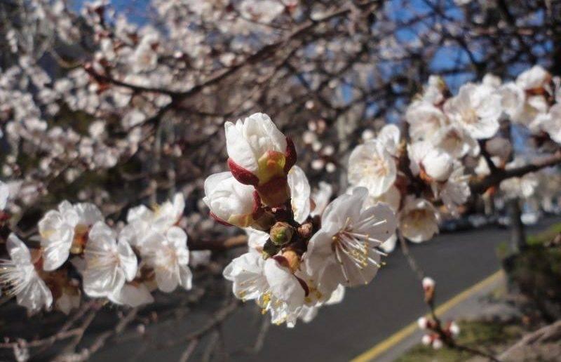 Когда и как часто поливать абрикосовые деревья весной и летом