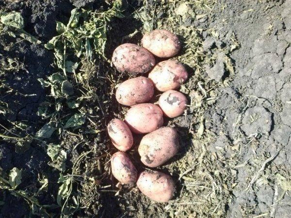 Картофель сорта для южный
