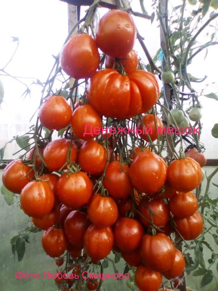 Томат Денежный мешок: отзывы, фото, урожайность