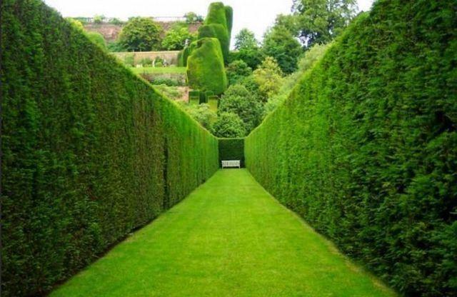 Какие растения выбрать для живой изгороди: кустарники, тую или ель? как посадить живую изгородь