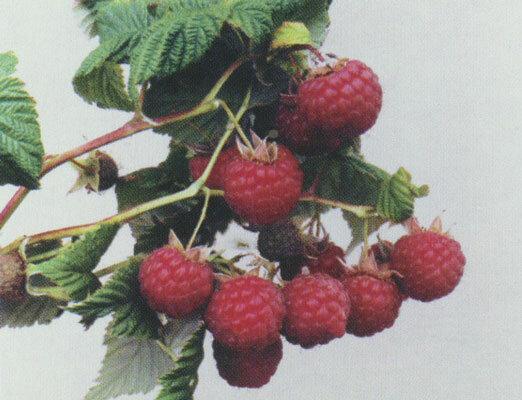 Лучшие сорта малины для россии