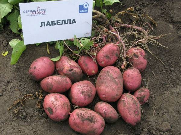 Купить клубни картофель ирбитский — от нпо сады росcии