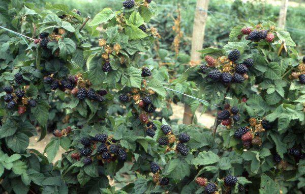 Ежевика торнфри: характеристики сорта, особенности выращивания