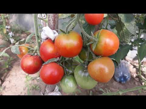 "Томат ""ля ля фа"" f1: характеристика сорта, описание и фото помидоров"