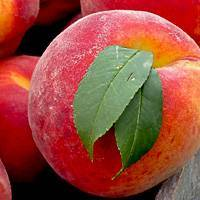 Как правильно ухаживать за персиками в осенний период