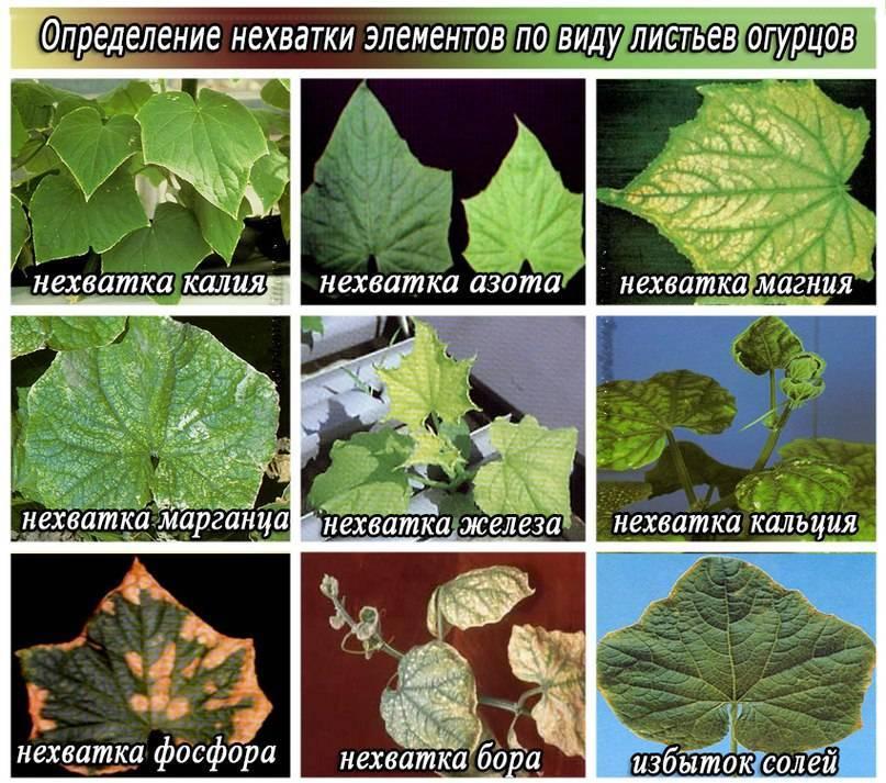 Скручиваются листья у огурцов в теплице