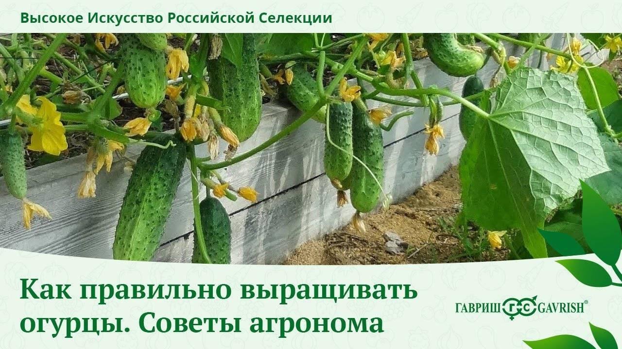 Посадка семян и рассады огурцов в теплицу: сроки, правила, схемы