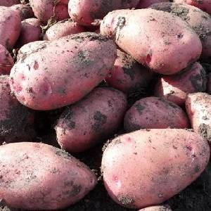 Алладин сорт картофеля. среднепоздний сорт картофеля алладин, подходящий для различных климатических условий