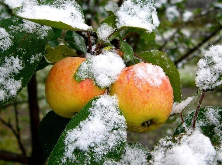 Способы хранения плодов яблок в подвалах и погребах