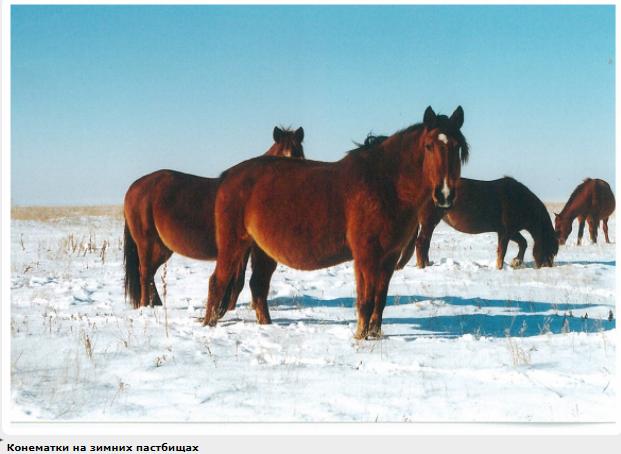 Картезианская порода лошадей (картухо, картухано)