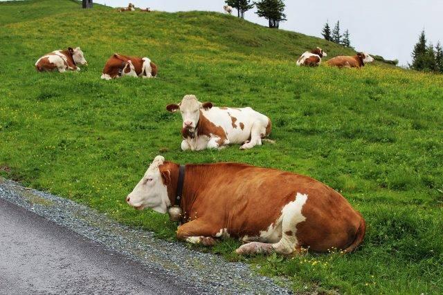 13901 (основы разведения и виды пород крупного рогатого скота)