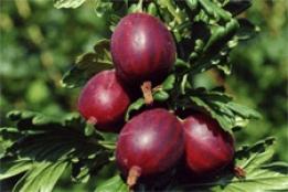Сорт крыжовника черносливовый: описание и характеристика