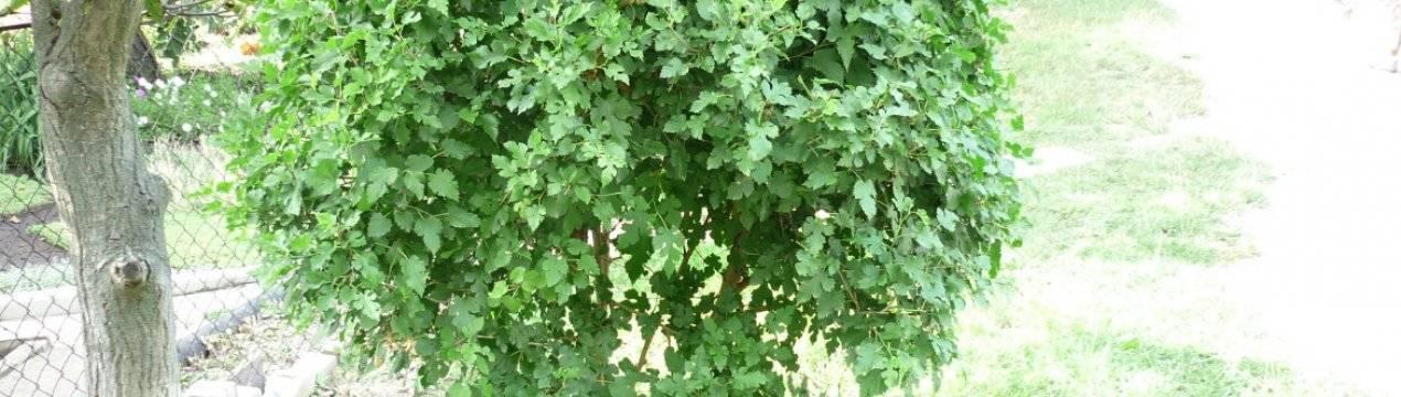 Выращивание, полив, обрезка и размножение шелковицы