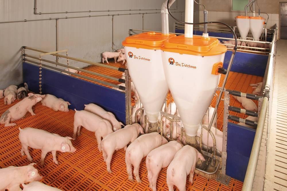 Откорм свиней для получения качественной свинины