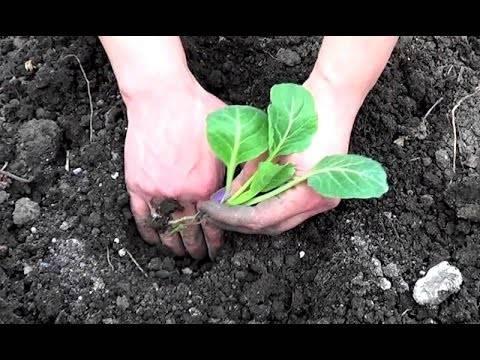 Когда сажать капусту в открытый грунт