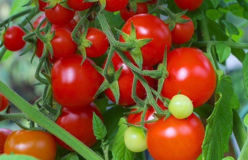 Урожайность томата интуиция: отзывы и 30 фото