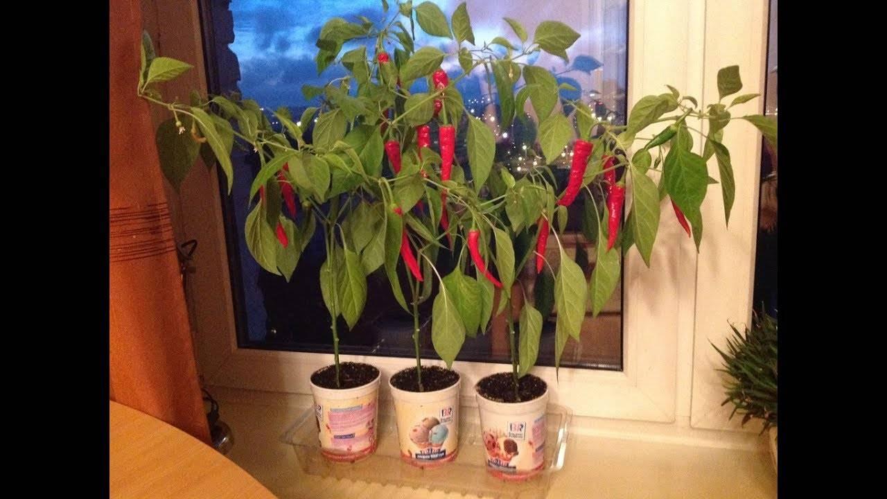 Комнатный горький перец на подоконнике. выращивание в домашних условиях зимой