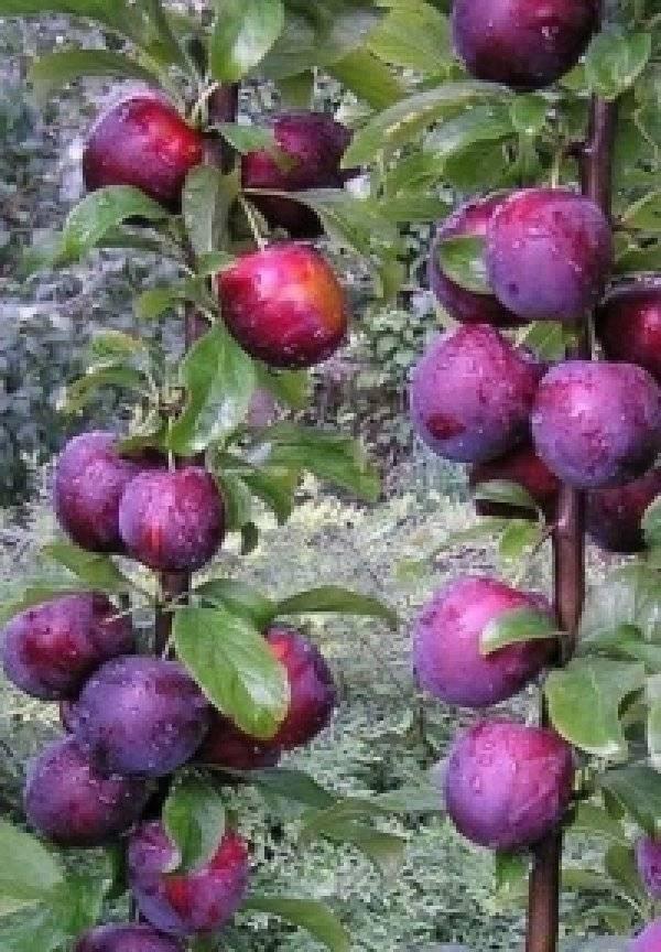 Колоновидные сливы: лучшие сорта для выращивания в подмосковье