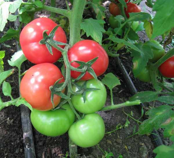 Индетерминантные томаты: что это такое, лучшие высокорослые сорта для теплицы и открытого грунта