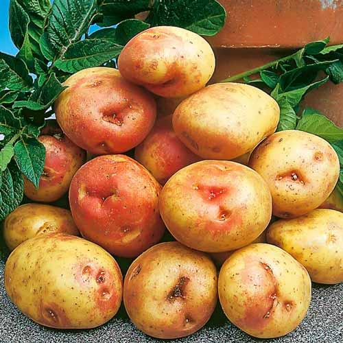 Сорт картофеля «лимонка» или «пикассо»: характеристика, описание, урожайность, отзывы и фото