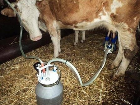 Как доить корову разными способами. доение первотёлки