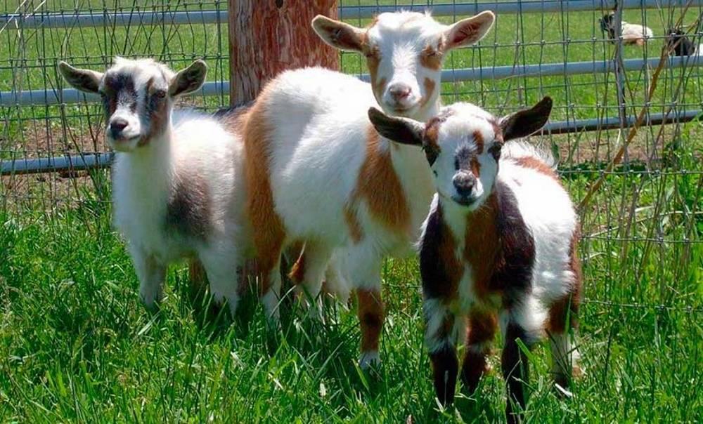 Чешские козы: описание породы, особенности содержания