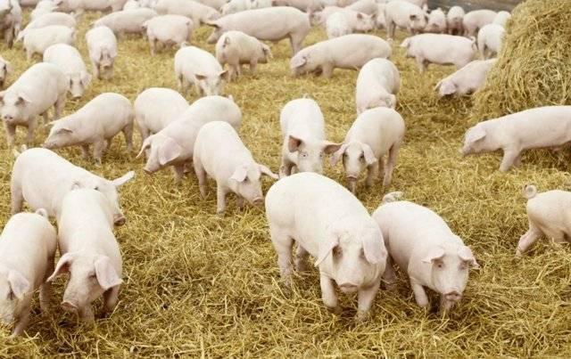 Свиноводство как бизнес. с чего начать и как преуспеть