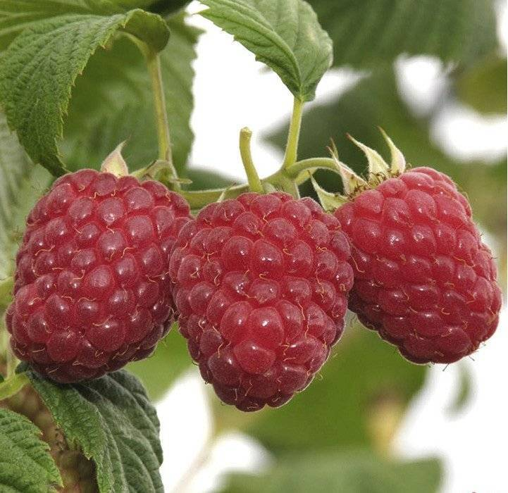 Сорта штамбовой малины: фото и описание