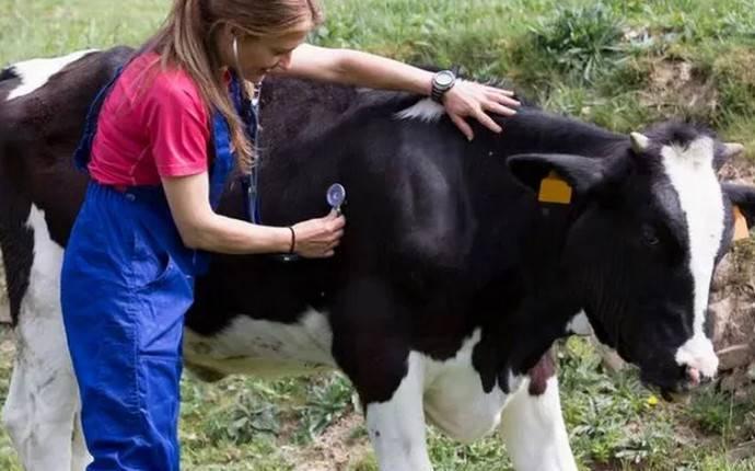Лечение и профилактика послеродового пареза у коров