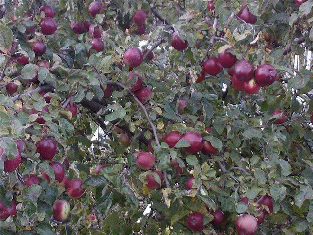 Обзор лучших сортов осенней яблони анис