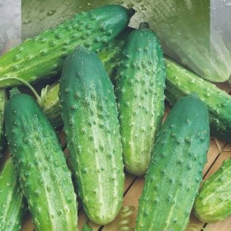 Сорт огурцов родничок: характеристика и описание с фото, выращивание сорта и уход