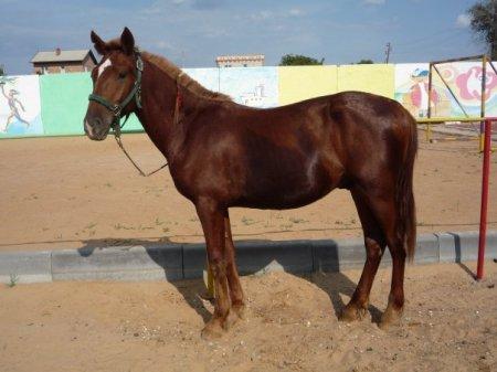 Кустанайская порода лошадей