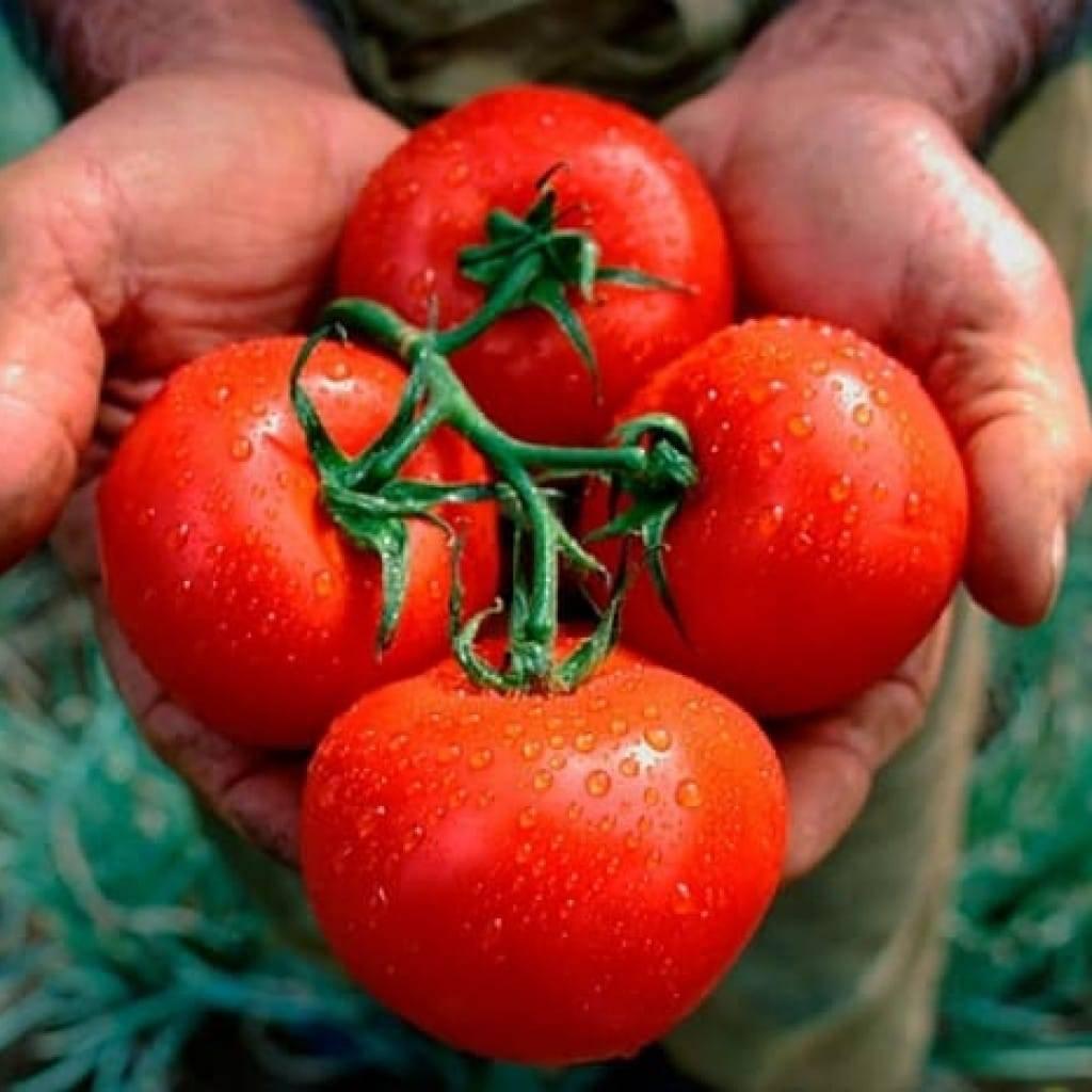 Азотные удобрения для рассады томатов для подкормки