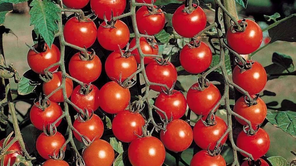 Помидоры, которые не болеют фитофторой: какие сорта томатов являются самыми устойчивыми, что делать для профилактики?