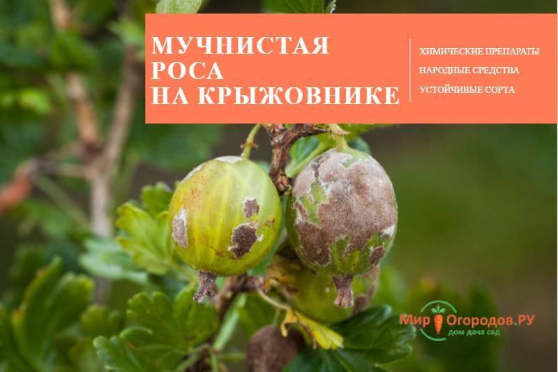 Как можно избавиться от мучнистой росы на смородине