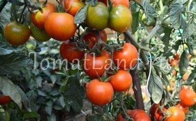 Описание лучших и урожайных сортов томатов для северных районов