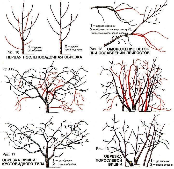 Обрезка черешни: схемы для начинающих