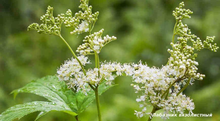Чем полезен лабазник пестролистный и как его выращивать