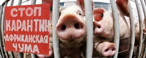 Африканская чума: чем она опасна для свиней и человека?