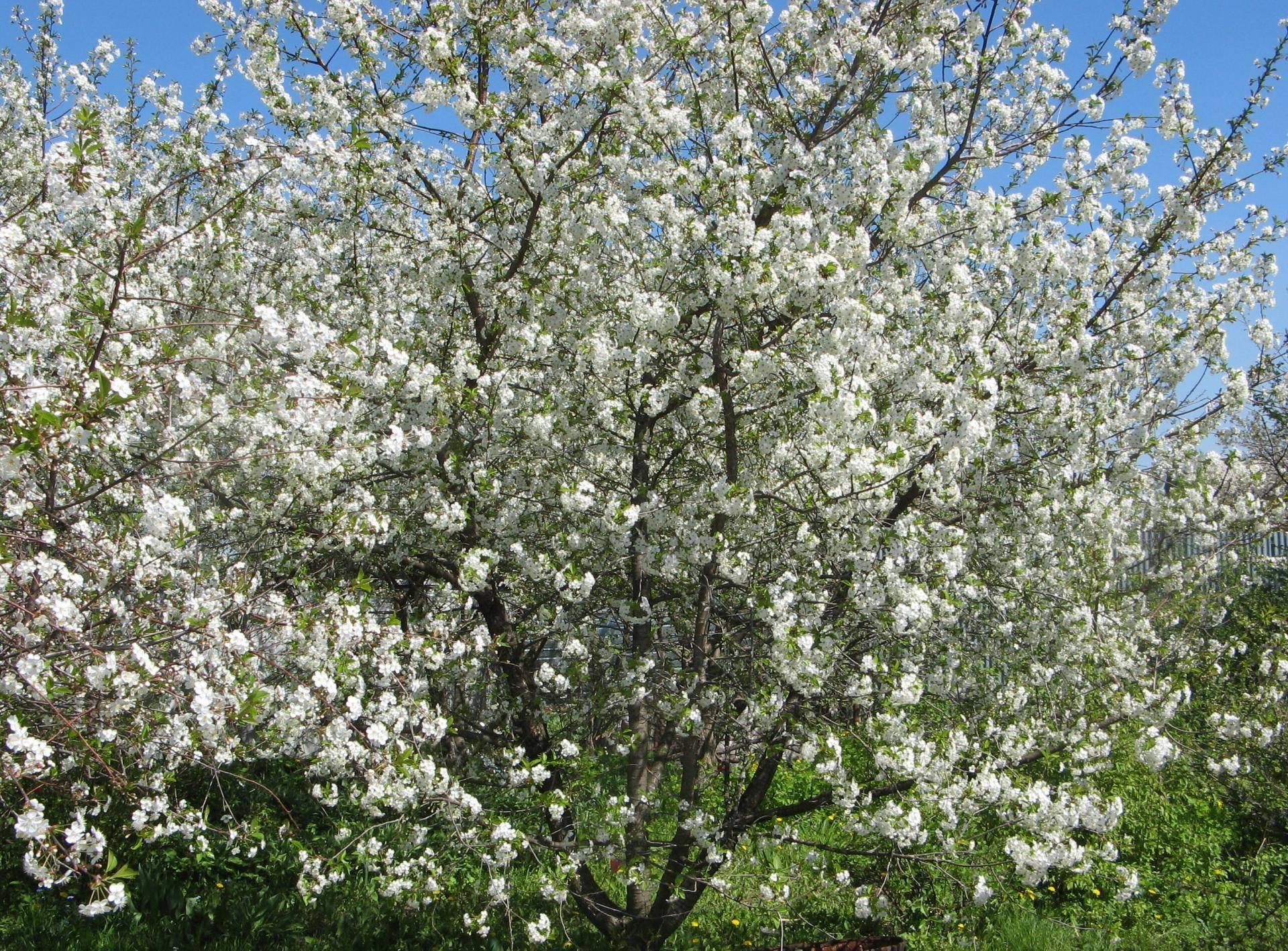 Вишня харитоновская — урожайная и крупноплодная